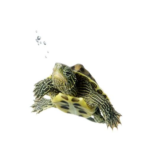 Tortugas Acuáticas